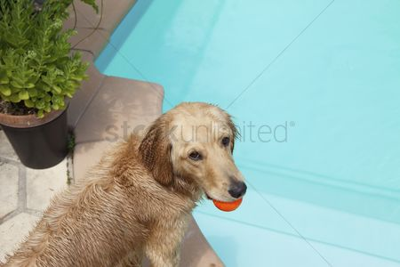 Animal head : Mixed breed golden retriever-poodle at swiiming pool with ball in mouth