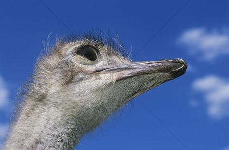 African wildlife : Ostrich head against blue sky low angle view