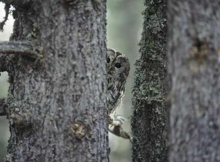 Owl : Owl peeking from behind tree