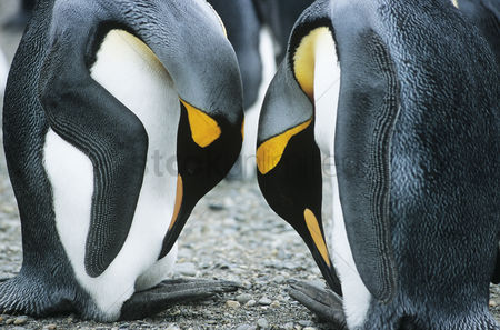 Animals in the wild : Pair of penguins head to head