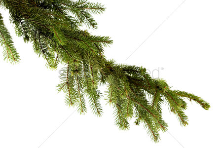 Winter : Pine branch on white background