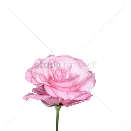Beautiful : Pink rose