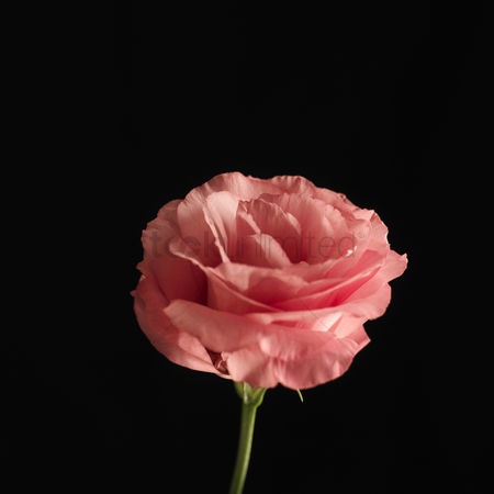Black background : Pink rose