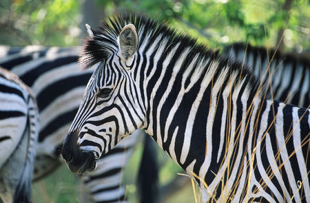 Black background : Plains zebra  equus burchelli  close-up