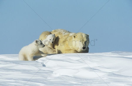 Cold : Polar bear cubs with mother in snow yukon