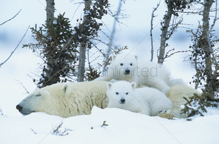 Animals in the wild : Polar bear cubs with mother in snow yukon