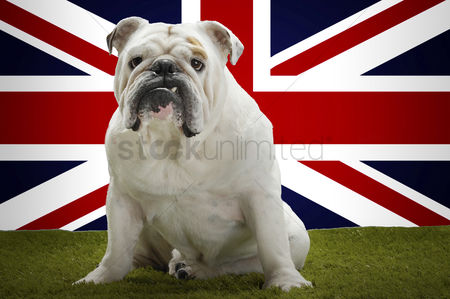 Domesticated animal : Portrait of british bulldog sitting in front of union jack