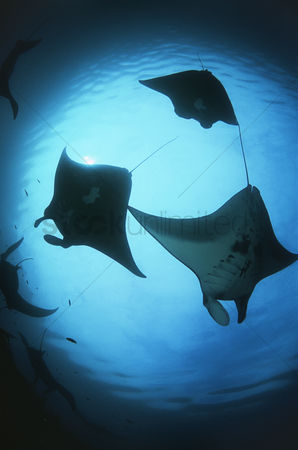 Animals in the wild : Raja ampat indonesia pacific ocean silhouettes of manta rays  manta birostris  low angle view