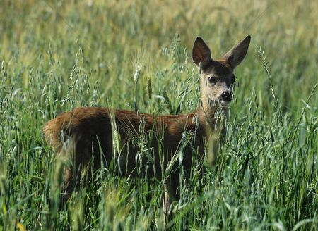 Alert : Roe deer in cereal field