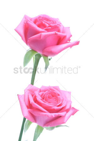 Spring : Rose on white background - close-up