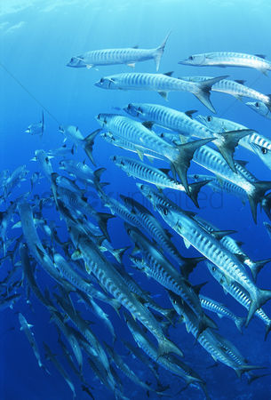 Large group of animals : School of blackfin barracuda fish