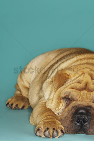 Dogs : Shar-pei lying down front view