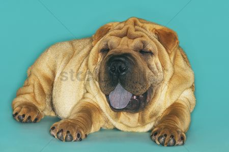 Dogs : Shar-pei lying down with tongue out