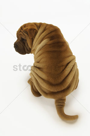 Dogs : Shar-pei sitting back view elevated view