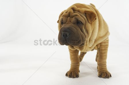 Domesticated animal : Shar-pei