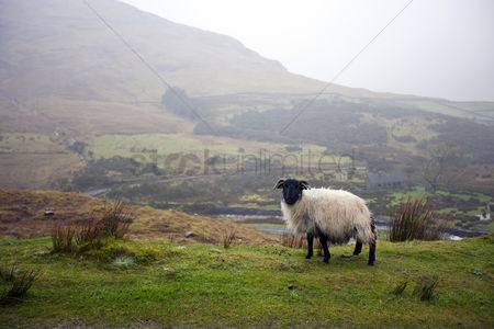 Land : Sheep grazing with valley in background