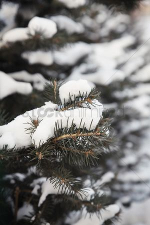 Cold temperature : Snow covering pine leaves during winter