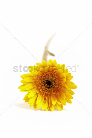 Spring : Sunflower