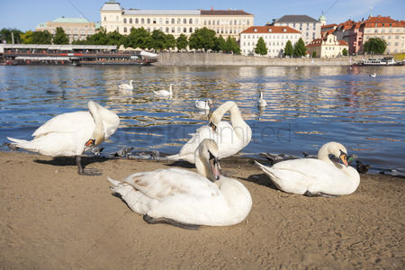 Large group of animals : Swans by vltava river  prague  czech republic