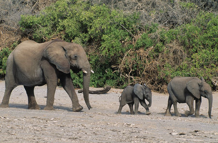 Animals in the wild : Three african elephants  loxodonta africana  in a row