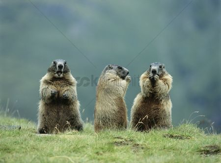 Grass : Three marmots