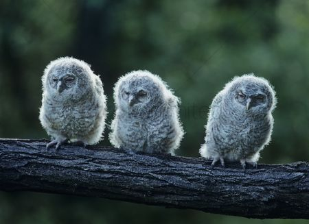 Owl : Three owlets on bough