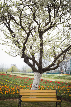 Almond : Tree and bench in a tulip garden  srinagar  jammu and kashmir  india