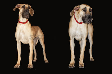 Dogs : Two brazilian mastiffs  fila brasileiro  standing side by side front view