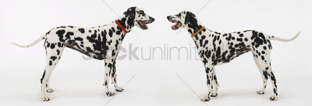 Dogs : Two dalmatians standing face to face
