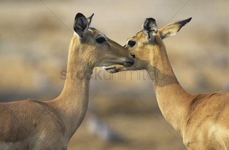 Animals in the wild : Two deer face to face outdoors