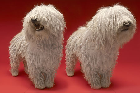 Adorable : Two komondor dogs on red background