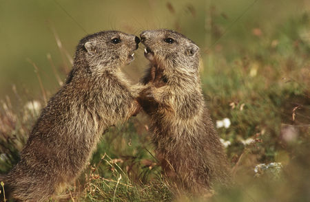 Animals in the wild : Two marmots on meadow