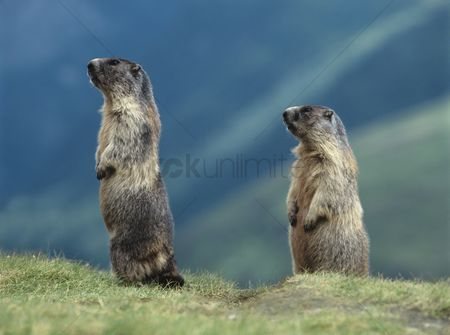 Alert : Two marmots