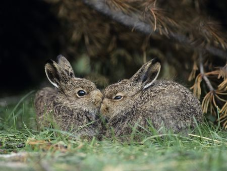 Animals in the wild : Two young hares sitting by bush