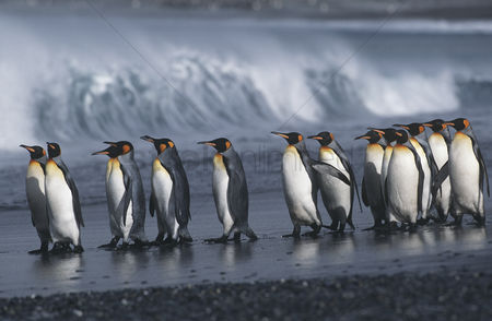 Animals in the wild : Uk south georgia island colony of king penguins marching on beach side view