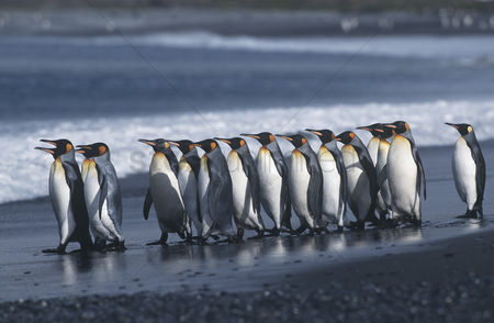 Large group of animals : Uk south georgia island colony of king penguins marching on beach side view