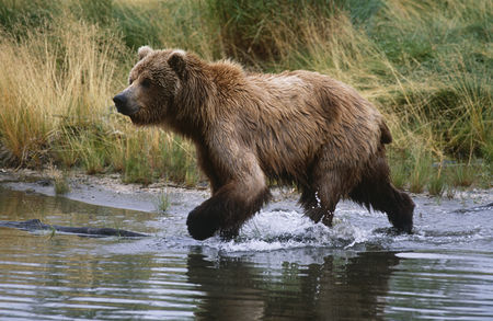 Grass : Usa alaska katmai national park brown bear running across water side view