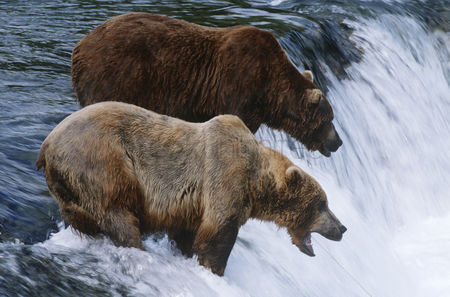Alert : Usa alaska katmai national park two brown bears standing in river above waterfall