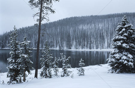 Trees : Usa wyoming yellowstone national park snow covered forest beside lake