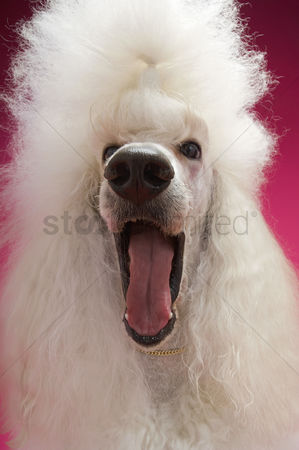 Animal head : White poodle close-up