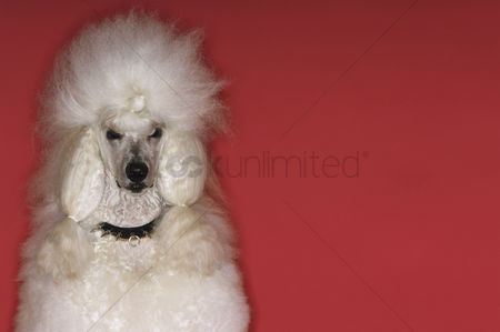 Domesticated animal : White poodle