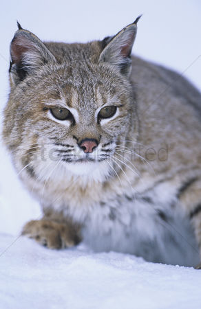 Alert : Wild cat in snow