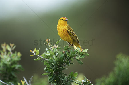 Animals in the wild : Yellow warbler perching on bush