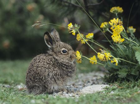 Easter : Young hare eating yellow clover