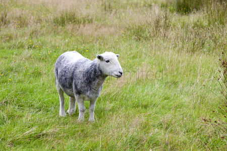 Domesticated animal : Young sheep on pastured land
