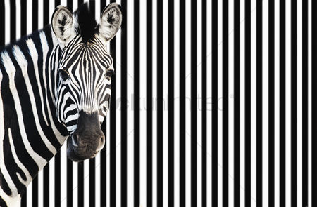 Head shot : Zebra on striped background looking at camera